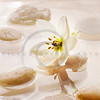 floating white spa flower