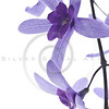 purple blossoms on white background