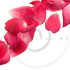 Pink rose petals isolated on white.