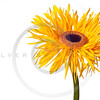 yellow daisy isolated