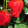 ripe strawberries on a plant