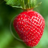 ripe strawberry plant