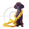 black toy poodle with gold tinsel garland solated on white