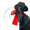 black toy poodle with red and green scarf isolated on white