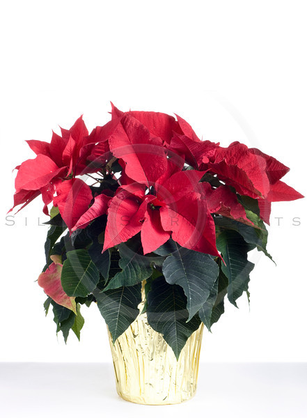 Christmas poinsetta isolated on white.