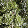 Christmas evergreen background