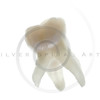 extracted baby molar tooth with roots
