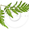 green fern leaf isolated