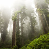Redwoods fading into the fog at Del Norte Redwoods National Park, CA.
