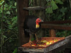 Australian Brush-Turkey-2960575261-O