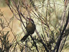 Spiny-cheeked Honeyeater-2960703560-O