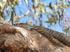 Lace monitor closeup-2960729099-O