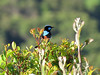 Superb Fairywren-2960630398-O