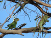 young Superb Parrot-2960696671-O