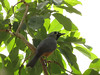Black-faced Monarch-2960522739-O