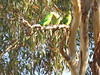 Superb Parrot feeding young-2960694962-O