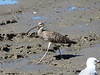 Far Eastern Curlew-2954070570-O