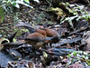 Albert's Lyrebird feeding youn-2960627827-O