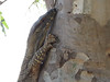 our second Lace Monitor-2960729922-O