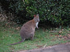 Red-necked Wallaby-2960603891-O