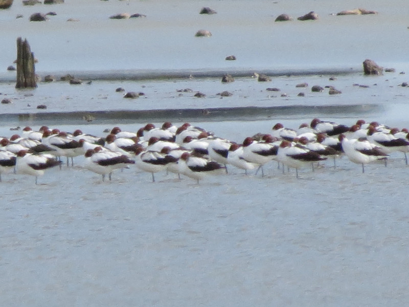 Red-necked Avocets-2960744147-O