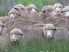 Werribee sheep-2960757024-O
