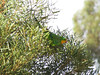 male Superb Parrot-2960697633-O