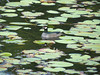 Green Pygmy-goose blends in nicely with the lily pads. (Photo by participant Merrill Lester)