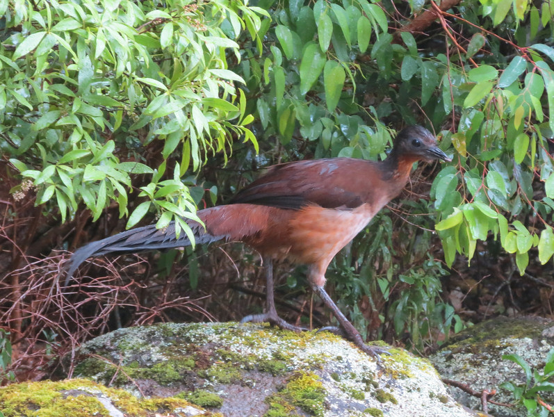 A great view of Albert's Lyrebird! (Photo by participant Merrill Lester)