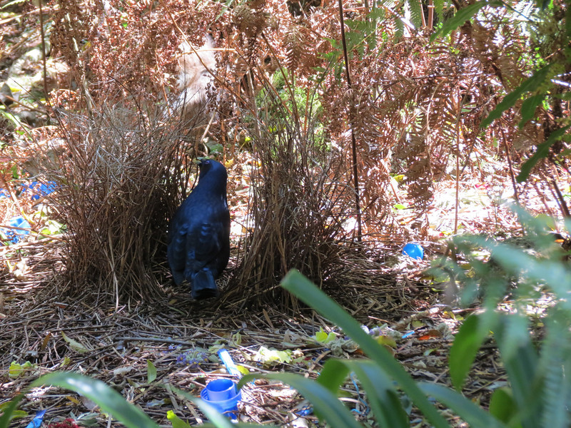 Satin Bowerbird working on his bower (Photo by participant Merrill Lester)