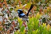 The spectacular Superb Fairywren at O'Reilly's (Photo by participant Tony Brake)