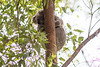 A Koala at Daisy Hill (Photo by participant Tony Brake)