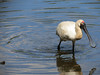 Royal Spoonbill (Photo by participant Merrill Lester)