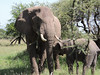 Elephants, Serengeti, by guide Terry Stevenson