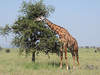 Common Giraffe, Serengeti, by guide Terry Stevenson