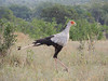 Secretary-bird by guide Terry Stevenson