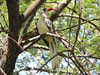 Red-billed Hornbill, Tanzania, by guide Terry Stevenson