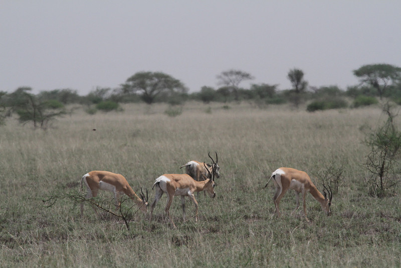 Soemmering's Gazelles at Awash, a rare species we see here. (Photo by guide Phil Gregory)