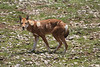 Surely Ethiopian Wolf must be among the most beautiful of all canids. (Perhaps in the running with Maned Wolf of South America?) (Photo by guide Phil Gregory)