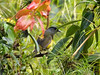... and the Black-and-yellow Silky-Flycatcher, to name just a few. (Photo by participant Marshall Dahl)
