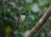 Stolid Flycatcher is a good example of one of the many regionally endemic species that present distinct subspecies in Jamaica. This subspecies, Myiarchus stolidus stolidus, is only found on this island. (Photo by guide Eric Hynes)