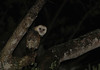 Barn Owls are fairly common in parts of Jamaica. We have a good chance of spotting one during an evening adventure. (Photo by guide Eric Hynes)