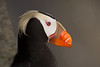 Tufted Puffin on the Pribilofs (Photo by guide Tom Johnson)