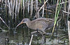 Here's a Clapper Rail, one of five species of rail possible on this tour. (Photo by guide Eric Hynes)