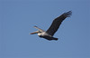 Brown Pelican is the official state bird of Louisiana.