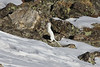 Our route takes us up and over Loveland Pass at almost 12,000 feet. This Long-tailed Weasel in its winter white pelage seems to have no trouble with the elevation. (Photo by guide Chris Benesh)