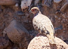 Bare-faced Ground-Dove (Photo by guide Jesse Fagan)
