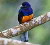 White-tailed Trogon (Photo by participant Roy Giles)