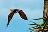 Savanna Hawk takes wing, nicely showing off the rufous in the wings. (Photo by participant Gregg Recer)