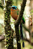 Trinidad Motmot (Photo by participant Gregg Recer)